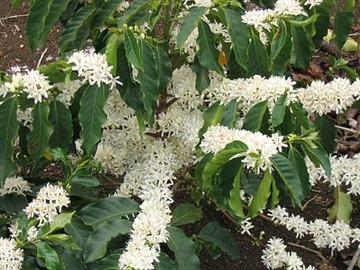 Cafe (plant genus)